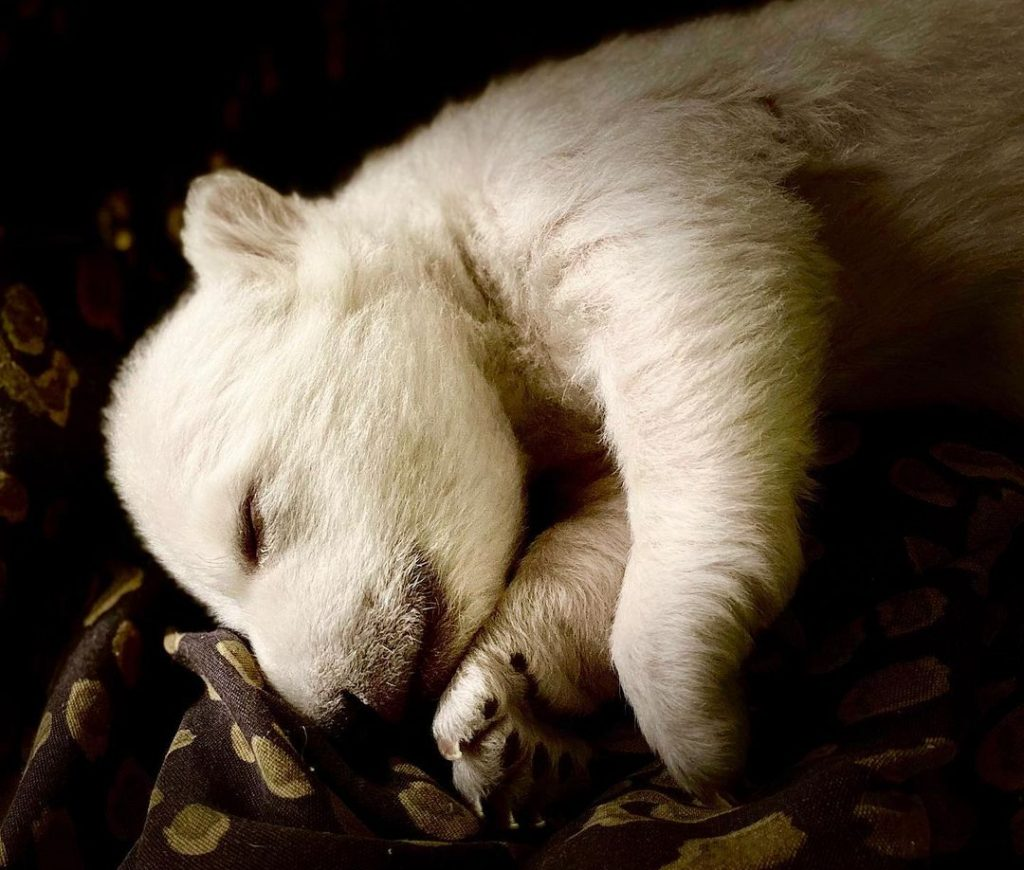 A First Look At The Detroit Zoo's New Twin Polar Bear Cubs