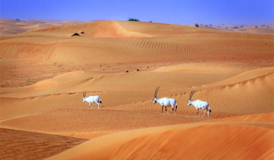 Inside the Dubai Desert Conservation Reserve