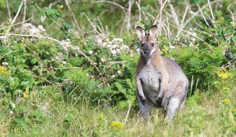 This Little Island In County Dublin Is Home To A Troupe Of Wild Wallabies