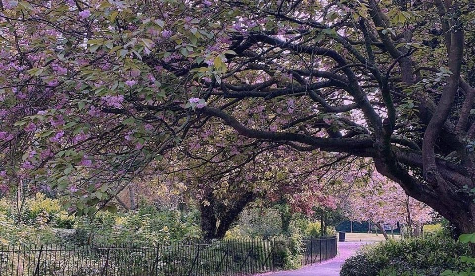 Just A Collection Of Photos Showing Dublin's Cherry Blossom Looking Absolutely Stunning