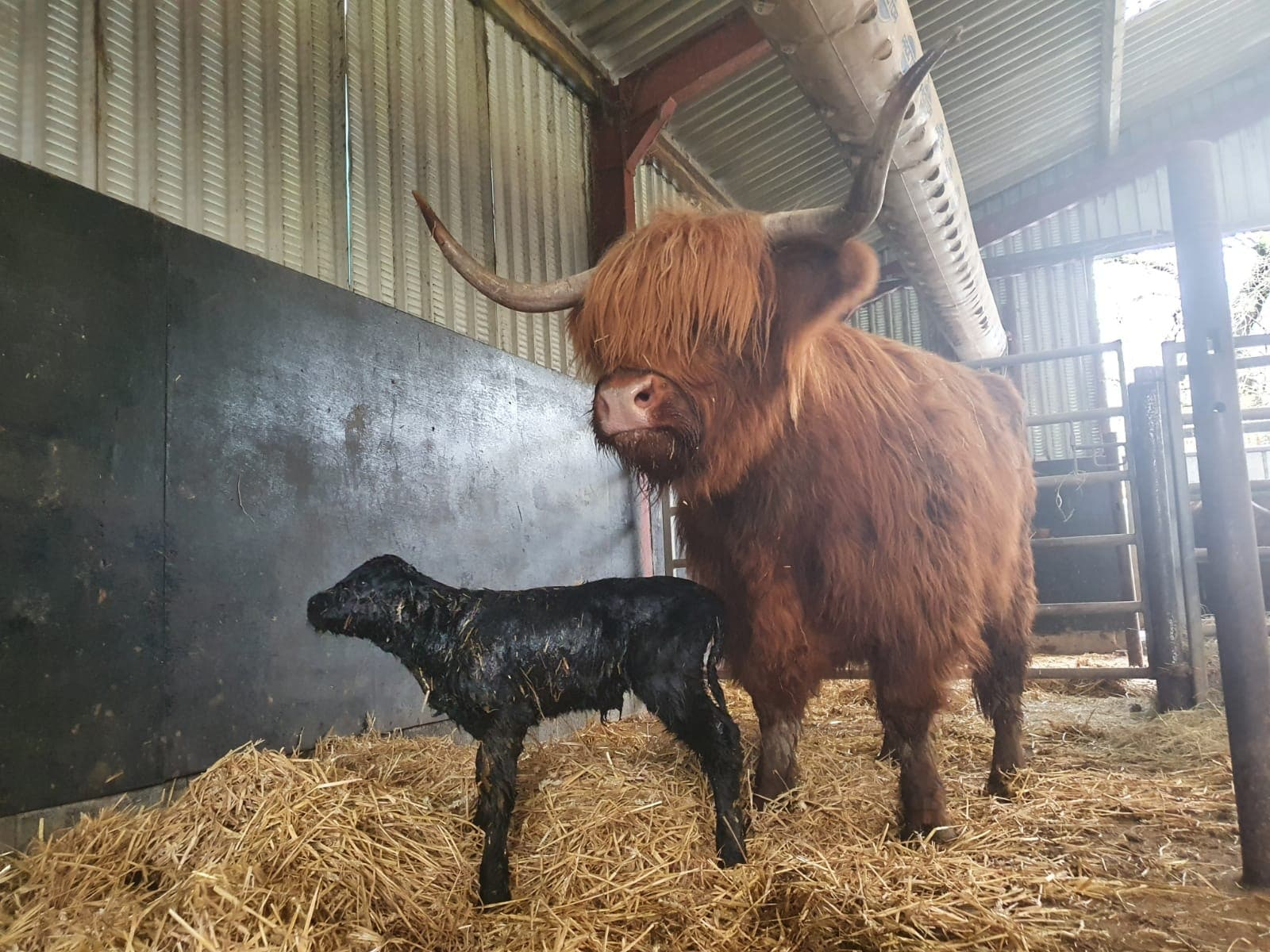 pollok park highland cattle born