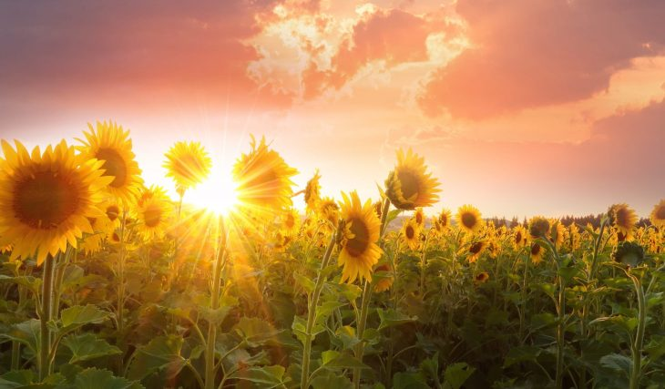 You Can Take A Stroll Through This Scenic Rim Sunflower Field And Even Pick Sunflowers Too