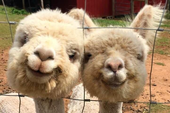 Booze With Alpacas And Eat All The Crawfish At The Wildcatter Saloon