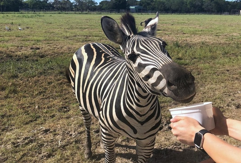 Go On An Exotic Safari Just Outside Of Houston • Bayou Wildlife Zoo