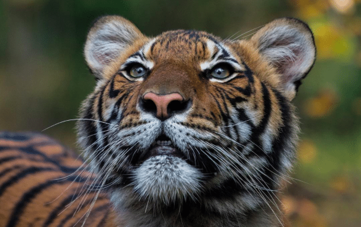 A Tiger At The Bronx Zoo In NYC Becomes First Animal In U.S. To Test Positive For COVID-19