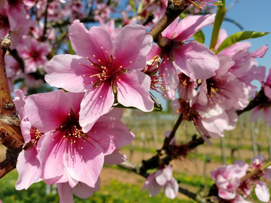 The almond blossom in Ibiza, as dreamy as it can be