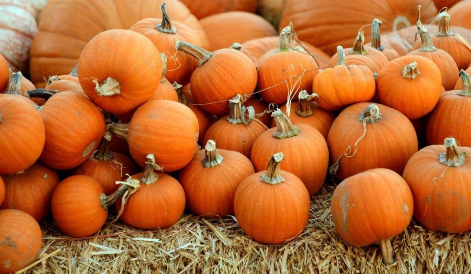 Pick Your Own Halloween Pumpkins 35 Minutes From Copenhagen • Ventegodtgaard