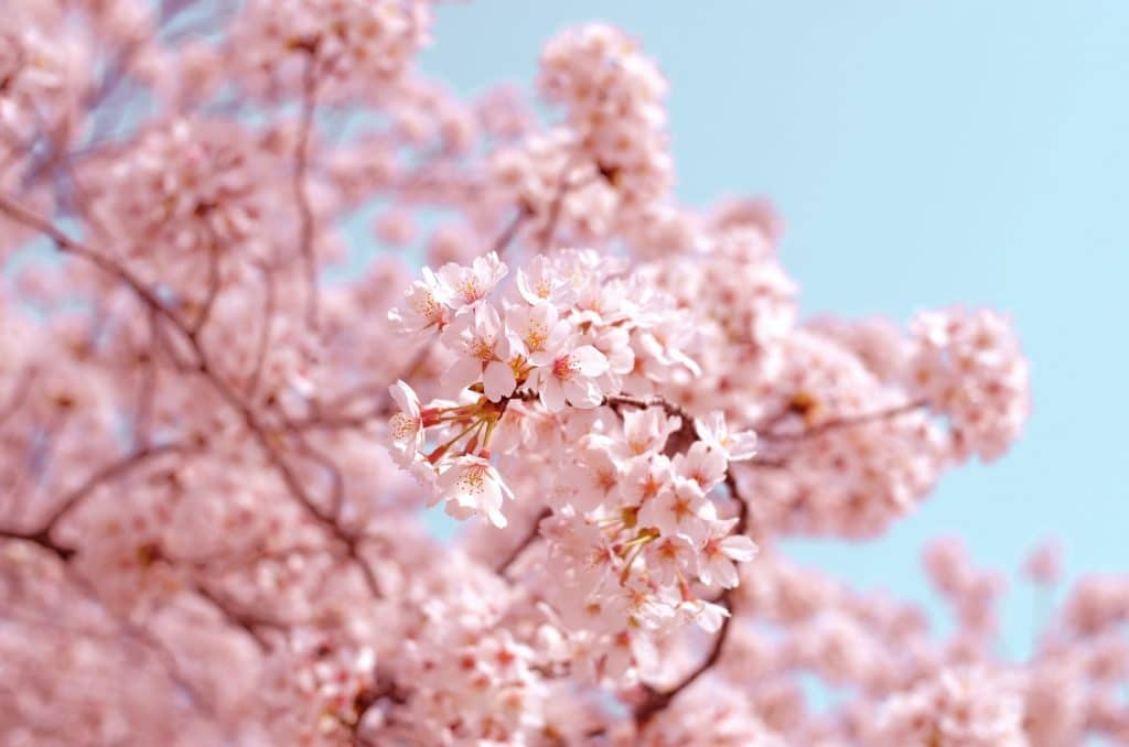 6 Beautiful Spots In Copenhagen With The Best Cherry Blossom