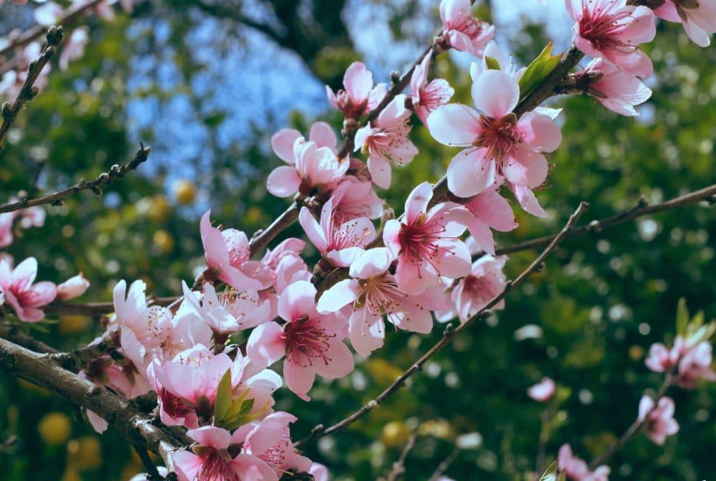 5 Orte, an denen ihr Kölns Kirschblütenbäume bestaunen könnt