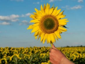 You Can Pick Your Own Gorgeous Sunflowers At This Farm In Vegas