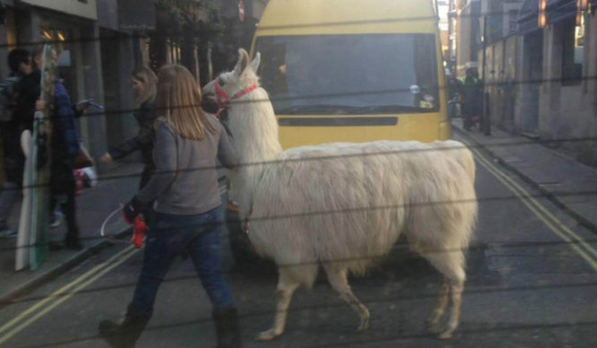 Is Larry The London Llama The Sassiest Creature In Soho?