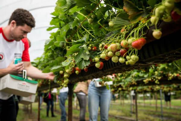 Camden Beer Strawberry Picking
