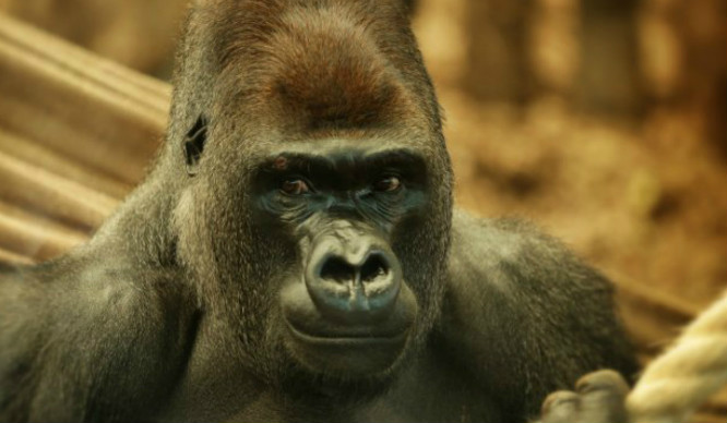 Kumbuka The Gorilla Escaped His Enclosure At London Zoo Last Night