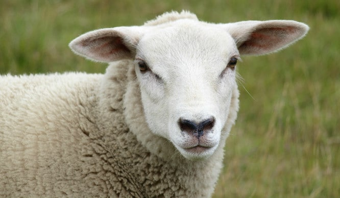 Have We Gone Baaalmy? A Sheep Café Is Coming To London