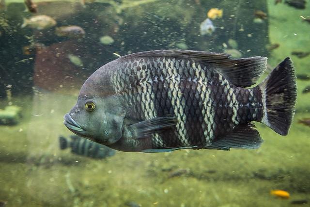 tilapia-fish