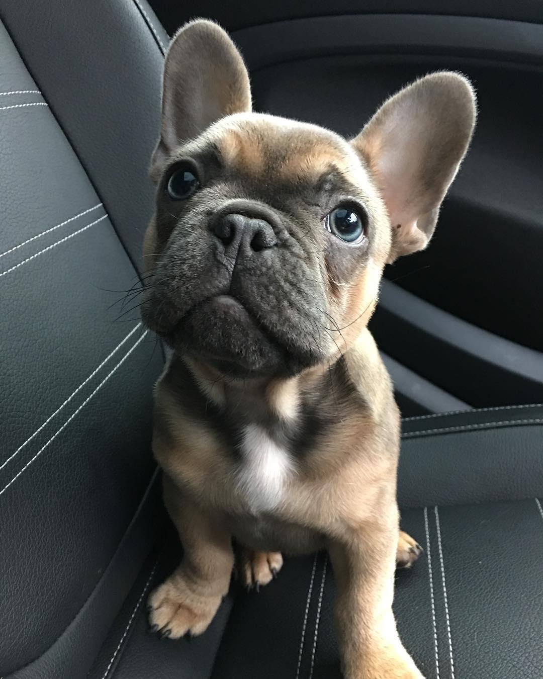 kobe-frenchie-puppy-london