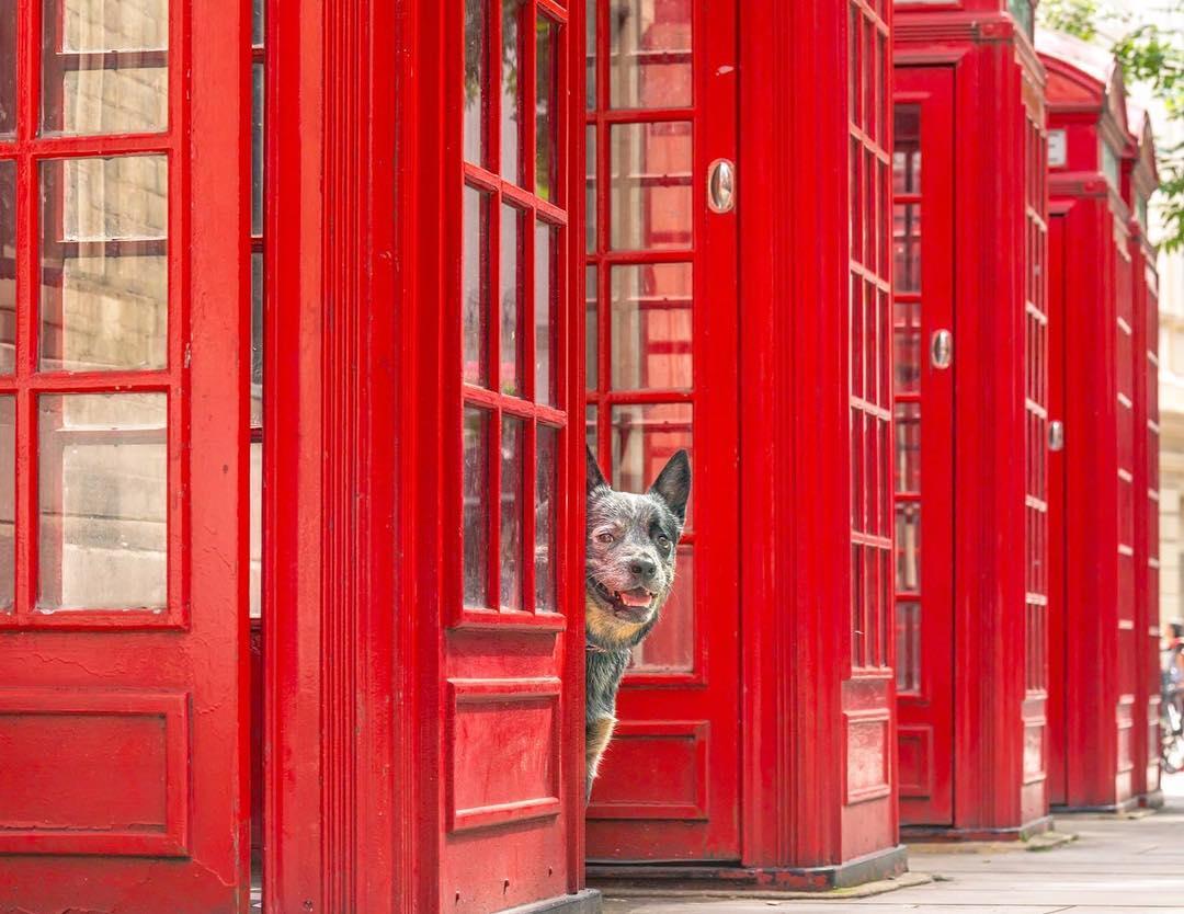 rupert-cattle-dog-london