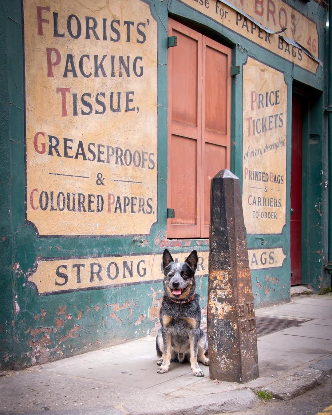 rupert-cattle-dog
