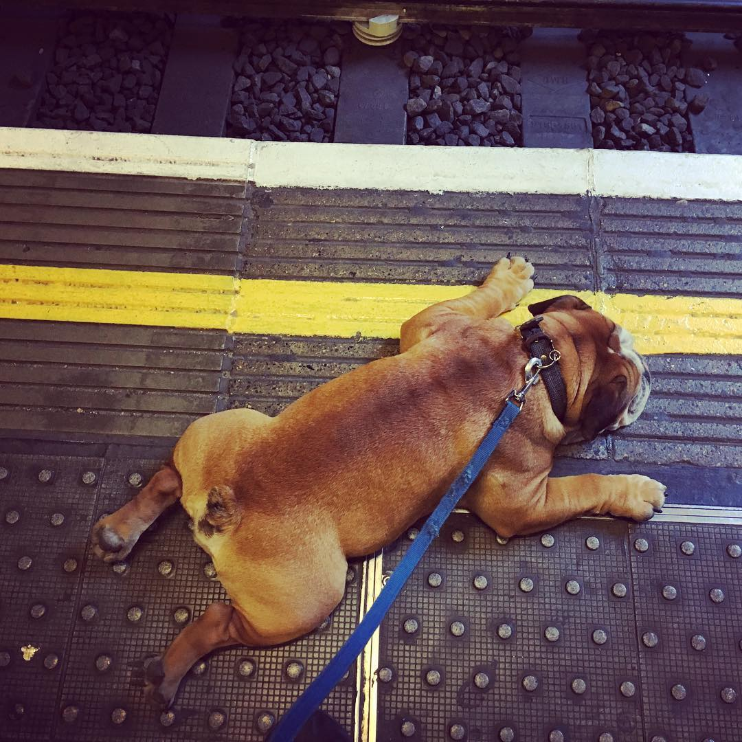 norman-bulldog-funny-instagram