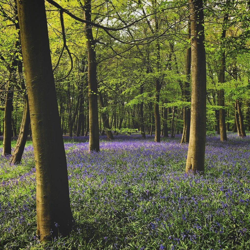 Bluebells London Wanstead ParkBluebells London Wanstead Park