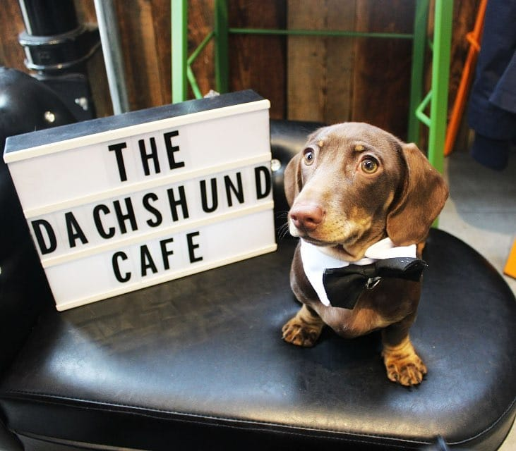 dachshund-cafe