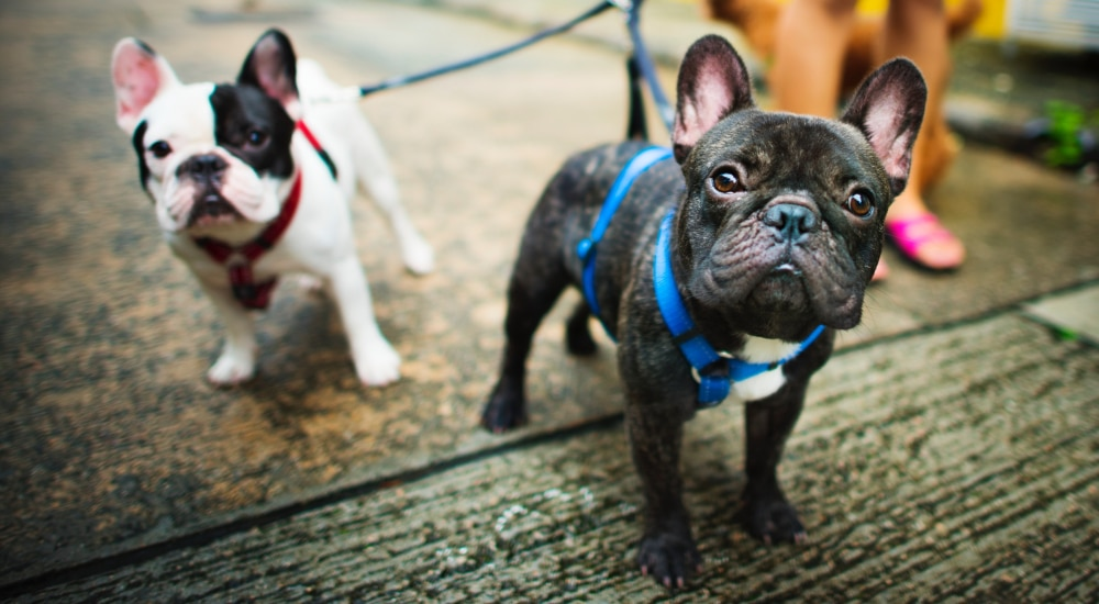 A French Bulldog Café Is Coming To London In September