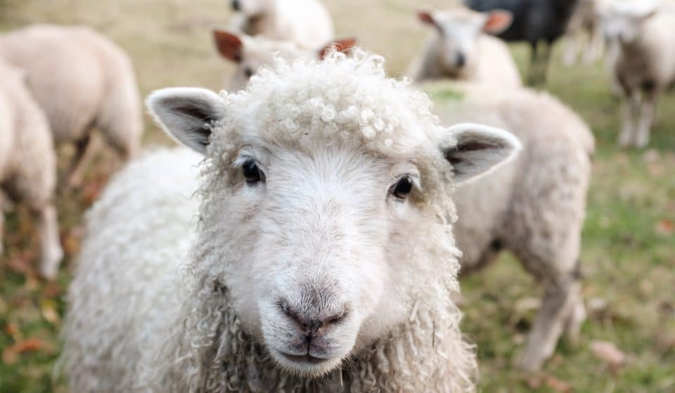 A Flock Of Sheep Are Being Herded Across London Bridge This Weekend