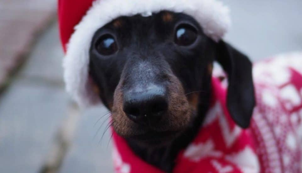 Hundreds Of Dachshunds In Christmas Jumpers Are Meeting In Hyde Park Next Month