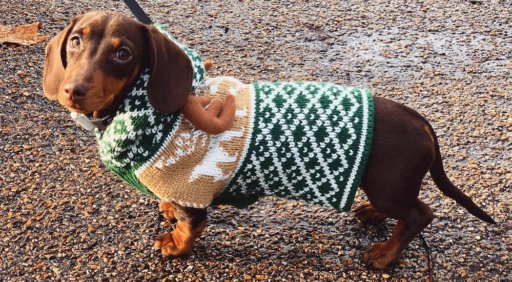 12 Photos Of Dachshunds In Christmas Jumpers From The Hyde Park Sausage Dog Walk