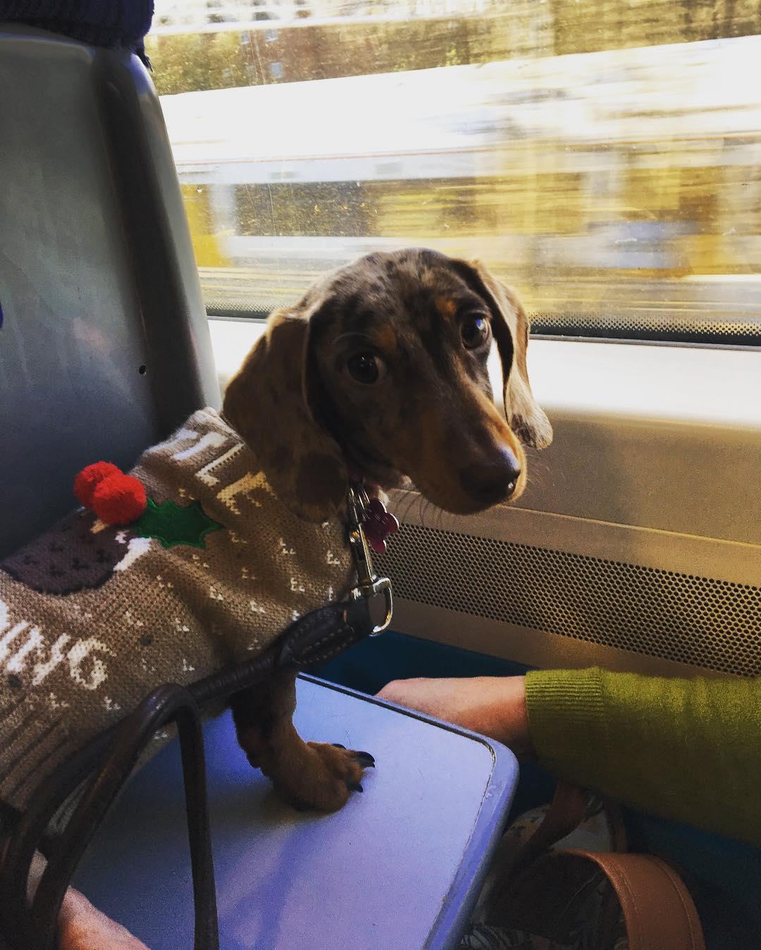 Photo: @the_dapple_dachshund