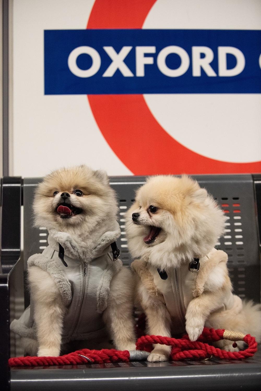 London Dog Week. Two Pomeranians at Oxford Circus station.