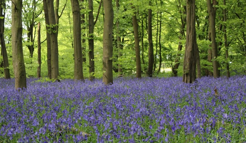 This East London Woodland Is Currently Full Of Beautiful Bluebells • Wanstead Park