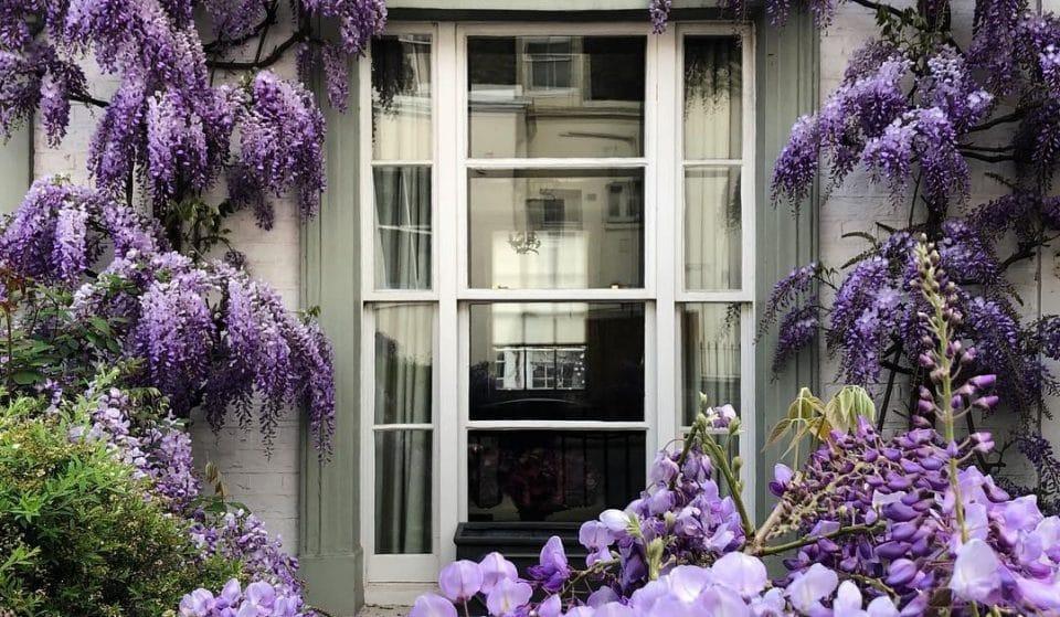The Secret London Guide To Enjoying Wisteria Season In Full Bloom