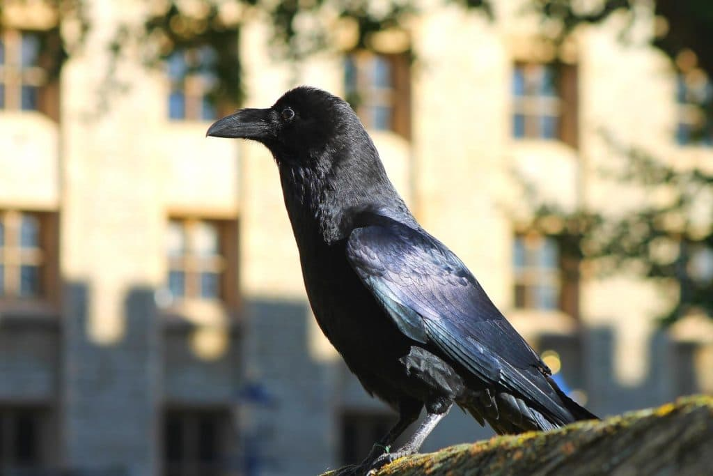 The Tower Of London's Ravens Are So Bored That They're In Danger Of Flying Away