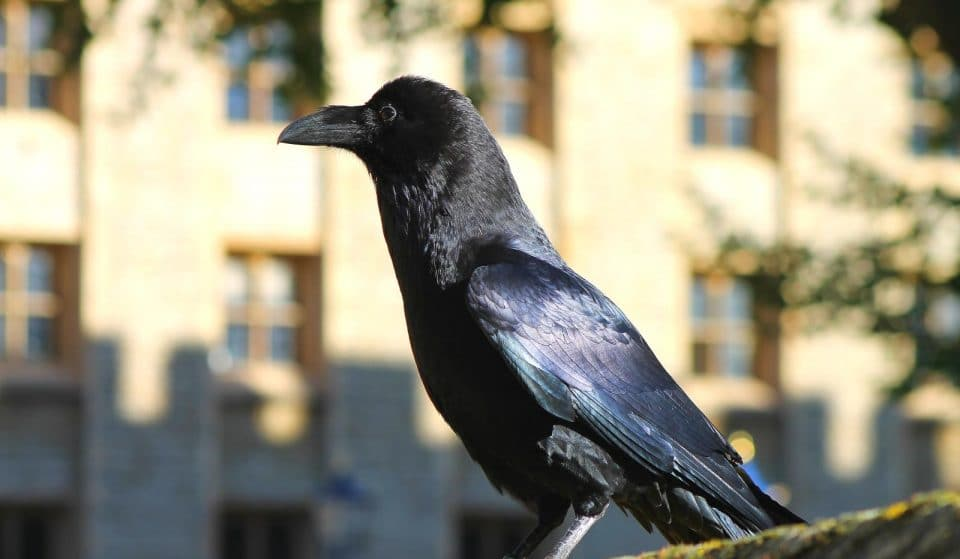 Baby Ravens Were Born At The Tower Of London For The First Time In 30 Years