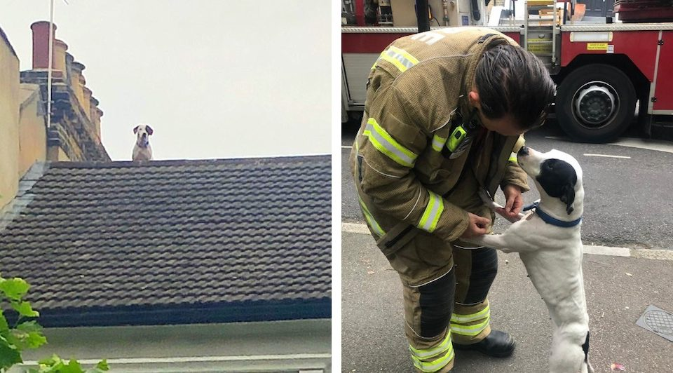 London Dog Gets Stuck On Roof, Realises Terrible Mistake, Gets Rescued, Says Thanks