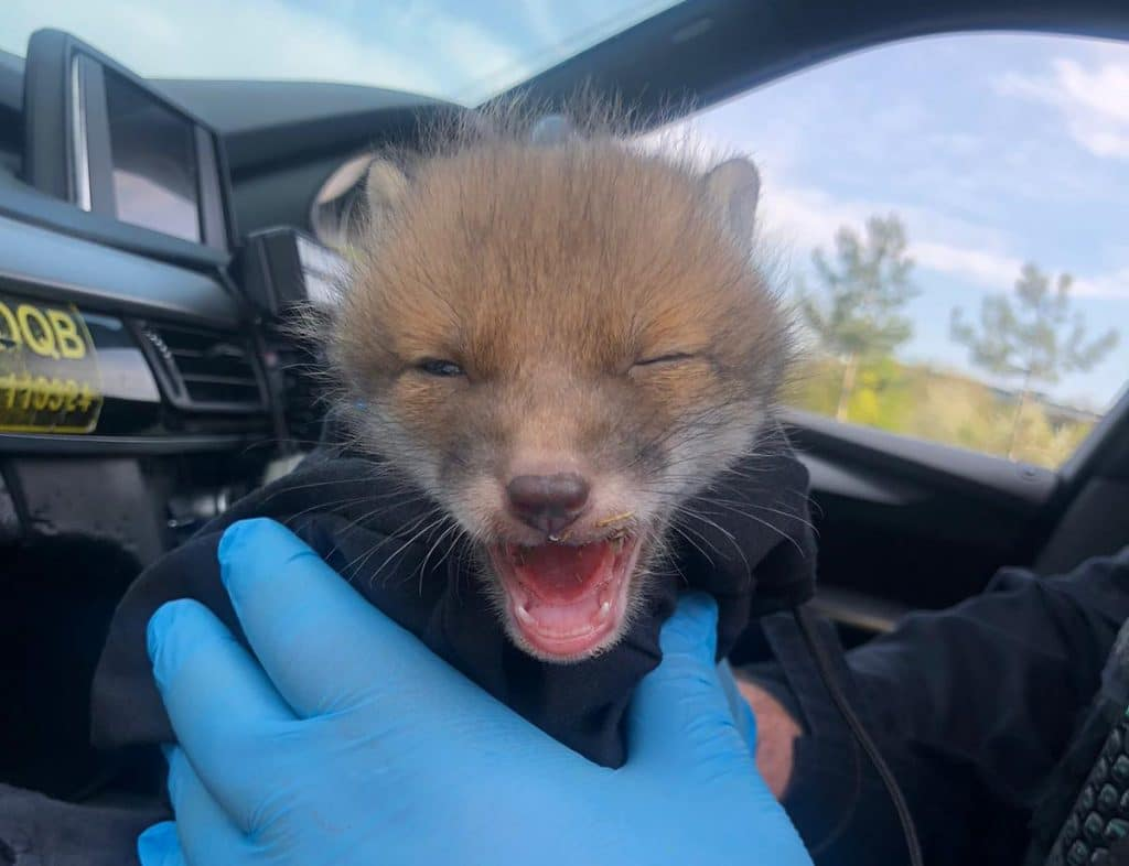 Police Rescued A Tiny Injured Fox Cub In A London Park Over The Easter Weekend