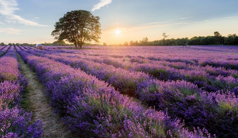 London's Incredible Lavender Field Is A Purple Paradise • Mayfield Lavender Farm