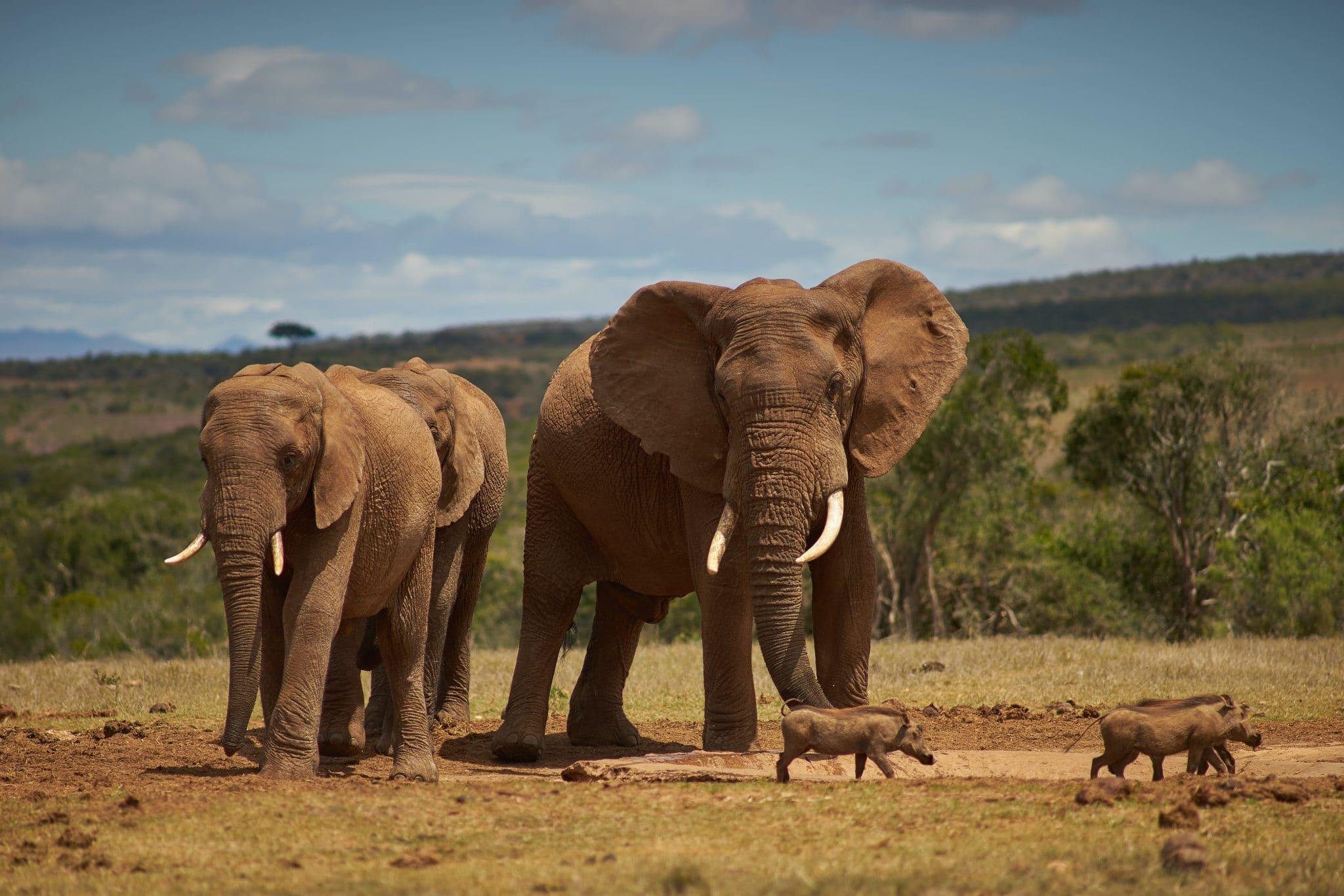 Elephant Population