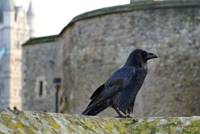 Queen raven tower of london 1