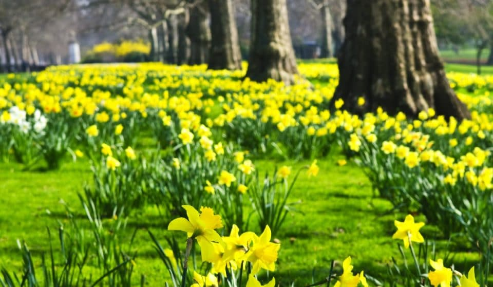 This Lovely Lovely Park Is Full Of Beautiful Daffodils Right Now