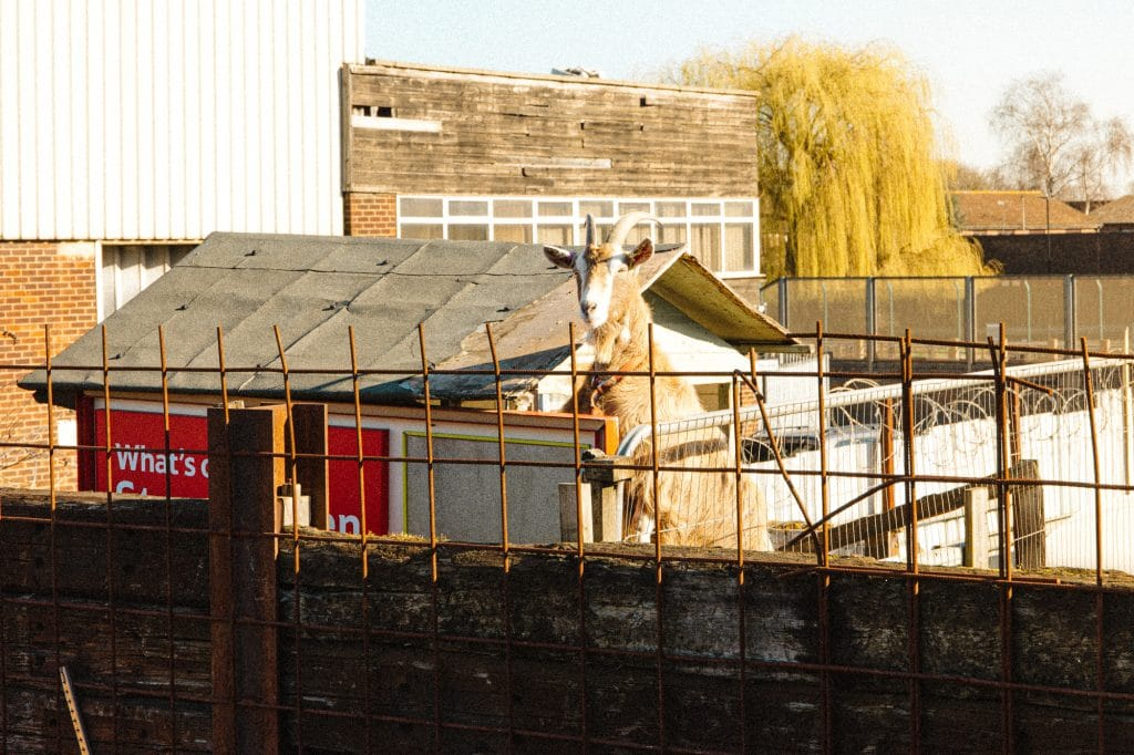 A goat looks over a metal fence into new venue Ernie's Yard
