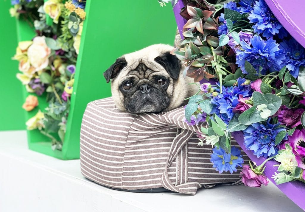 Pug Cafe, Dachshund Cafe and Cockapoo Cafe are returning to London for a series of Summer of Love-themed events