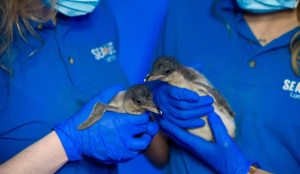 England's Only Gentoo Penguin Chicks Have Been Born At The London Aquarium And Our Hearts Have Melted