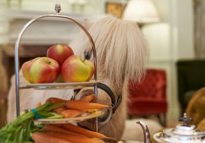 you can have afternoon tea with teddy the shetland pony at the goring hotel in london this summer