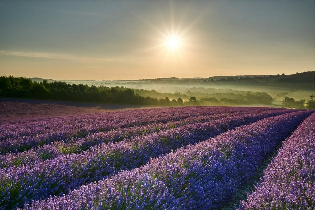 The sun rises over lavender fields near to London, England.