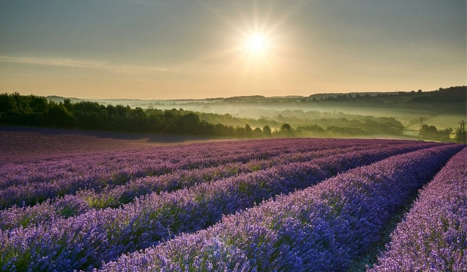 5 Enchanting Lavender Fields Near London To Explore This Summer