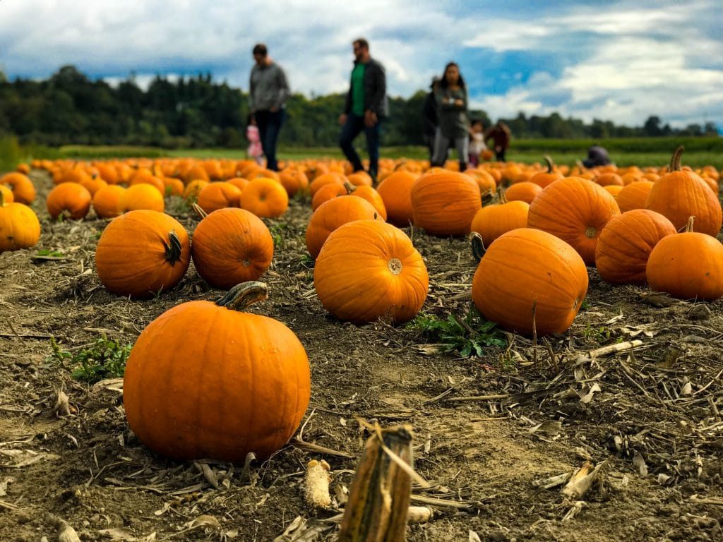 9 Pumpkin Patches Near Liverpool Where You Can Pick Your Own Pumpkins