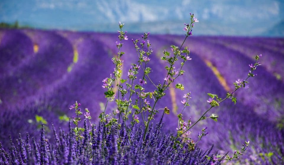 9 Astonishing Places In England To See Beautiful Fields Of Flowers
