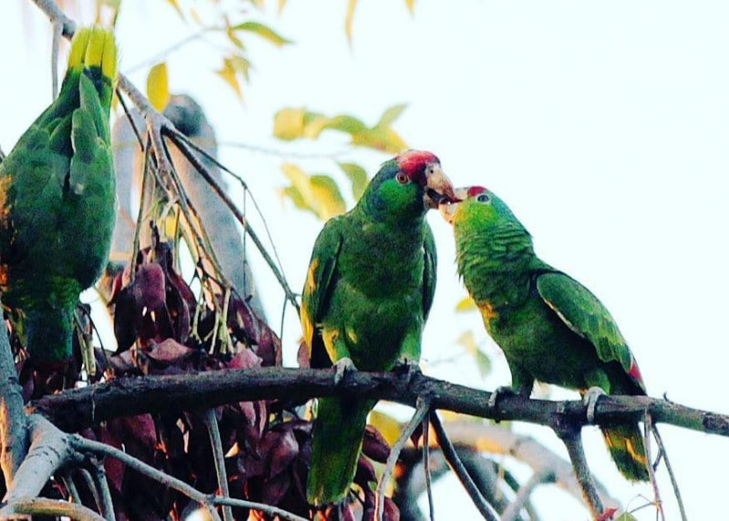 The Truth Behind Pasadena's Endangered Squawking Parrots